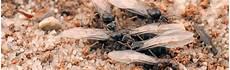 ameisen in der wohnung bekämpfen ameisen bek 228 mpfen hausmittel gegen ameisen