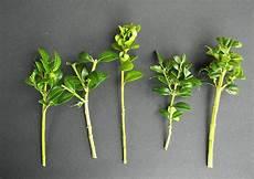 buchsbaum selber vermehren buchsbaum buche baum und baum