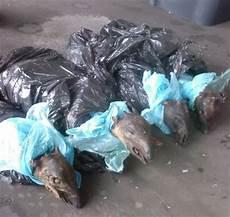 tote ratte entsorgen bushmeat tote affen und antilopen als reiseproviant