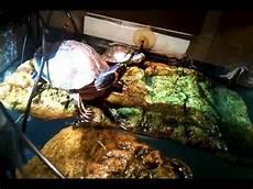 tortue eau douce aquarium tortues d eau douce regardez