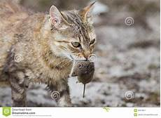 wie fängt eine maus cat with mouse in stock image image of dead meal