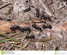ameisen lasius nigraspur auf dem boden im holz