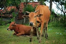 Madura Cattle