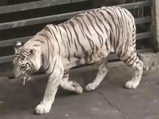 Informasi Tentang Harimau Putih Fauna Gue