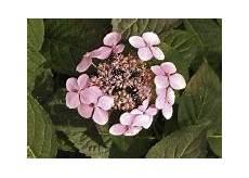 tailler les hortensias photos doit on tailler les hortensias gingras jardiner