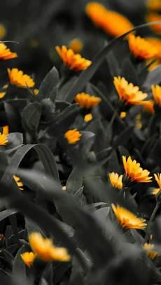 Orange Flowers Iphone Wallpaper by Orange Flowers Black White Photo Iphone 6 Plus Hd