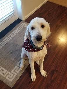 semi short haircut on a goldendoodle goldendoodles goldendoodle short haircut mini goldendoodle goldendoodle animals