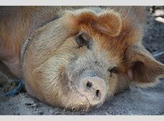 cdc swine flu 2009