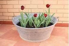 tulpen im topf in der tulpen im topf die besten tipps und tricks lubera 174