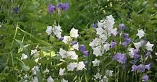 pflanzen niedrigere klassifizierungen glockenblume pflanzen pflege und tipps mein sch 246 ner
