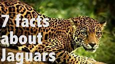 jaguar information for 7 facts about jaguars