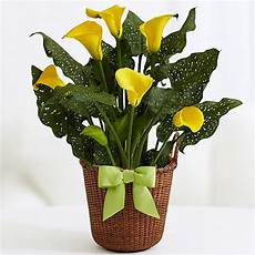 Calla Pflanze Pflege - potted yellow calla