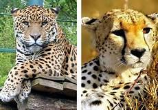 jaguar ou leopard les animaux leopard