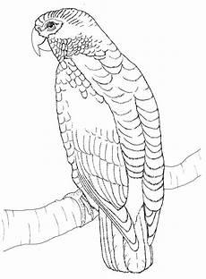ausmalbilder kostenlos zum ausdrucken papageien graupapagei p gif