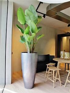 baum im raum kleiner baum pflanze in wohnraum wohnung kaufen
