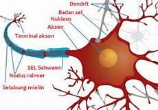 Bagian Bagian Neuron Dan Fungsinya Dosenbiologi