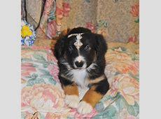 Shamrock Rose Aussies   UPDATE!! WE HAVE PUPPIES!!! Born 5