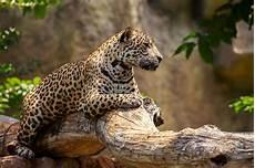 jaguar attacks woman taking selfie at arizona zoo wtop