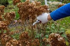 wann werden hortensien geschnitten hortensien schneiden 187 tutorial mit illustrierten