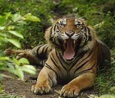 Harimau Sumatera Sang Raja Menanti Kepunahan Cagar