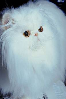 cat hair what kinds of cat hair ear tufts pets