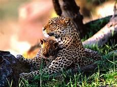Pic Of Jaguar by Jaguar Pictures Jaguar Predator Animal Pictures