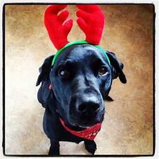 merry christmas 2013 labrador our black labrador pinterest