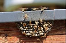comment trouver un nid de frelon nid de gu 234 pes ou de frelons que faire lesfurets
