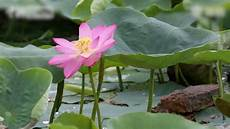 lotus flower grown from 100 year old seeds blooms in beijing youtube