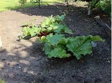 Rhabarber Pflanzen Anbauen Pflegen Vermehren Plantura