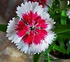 flor emblematica del estado trujillo venezuela s 237 mbolos naturales del estado t 225 chira clavellinas claveles flores bonitas