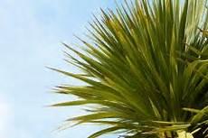 kentia palme braune blätter palme bekommt braune flecken 187 ursachen und ma 223 nahmen