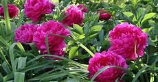 pfingstrosen blühen nicht p 228 onien pflanzen mein sch 246 ner garten
