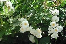 rosier liane sans epine rosiers lianes arrosoirs et s 233 cateurs