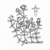 Flor Manzanilla Para Pintar E Imprimir