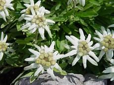 fiore edelweiss tutti pazzi per le piante leontopodium stella alpina