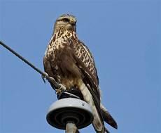 surner birding legged hawks honey pot so maple street hadley
