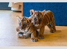 bronx zoo tiger yuri