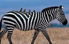 2000 Gambar Burung Oxpecker Dan Zebra Terbaik Gambar Id