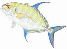 Padang T Fishing Jenis Jenis Ikan Kuwe Trevally