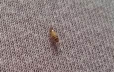 teppichkäfer larven im bett was ist das in meinem schlafzimmer insekten sch 228 dlinge