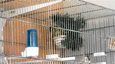 cardellino in gabbia cardellini mentre costruiscono il nido
