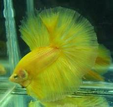 Macam Macam Gambar Ikan Cupang Hias Ikan Cupang Laga Ikan
