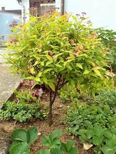 oleander ableger ziehen verschiedene hochst 228 mmchen selbst ziehen garten