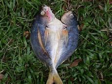Produk Perikanan Dan Pertanian Gambar Gambar Ikan Masin
