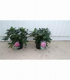 rododendro in vaso pianta di rododendro bianco in vaso piante da fiore 0