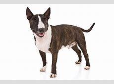 Miniature Bull Terrier Dog Breed Information