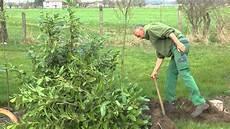 kirschlorbeer umpflanzen