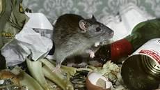 eichhörnchen kot bilder ratten im garten erkennen ratten im garten erkennen best