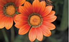 Black And Orange Flower Wallpaper